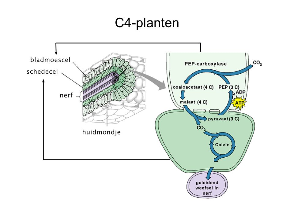 C4-planten