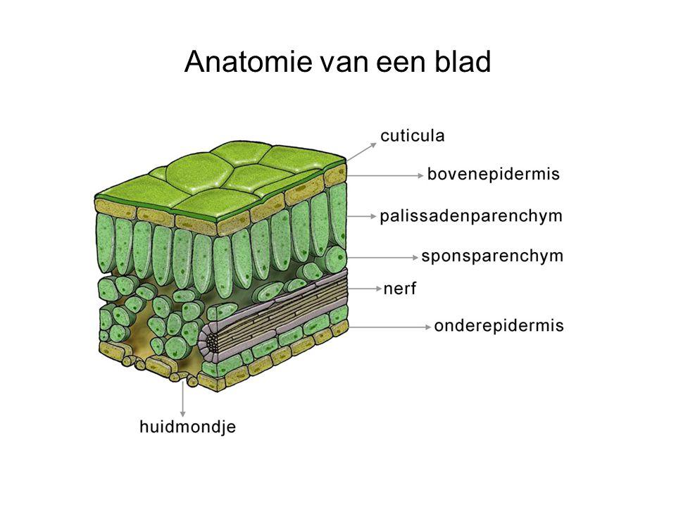 Anatomie van een blad