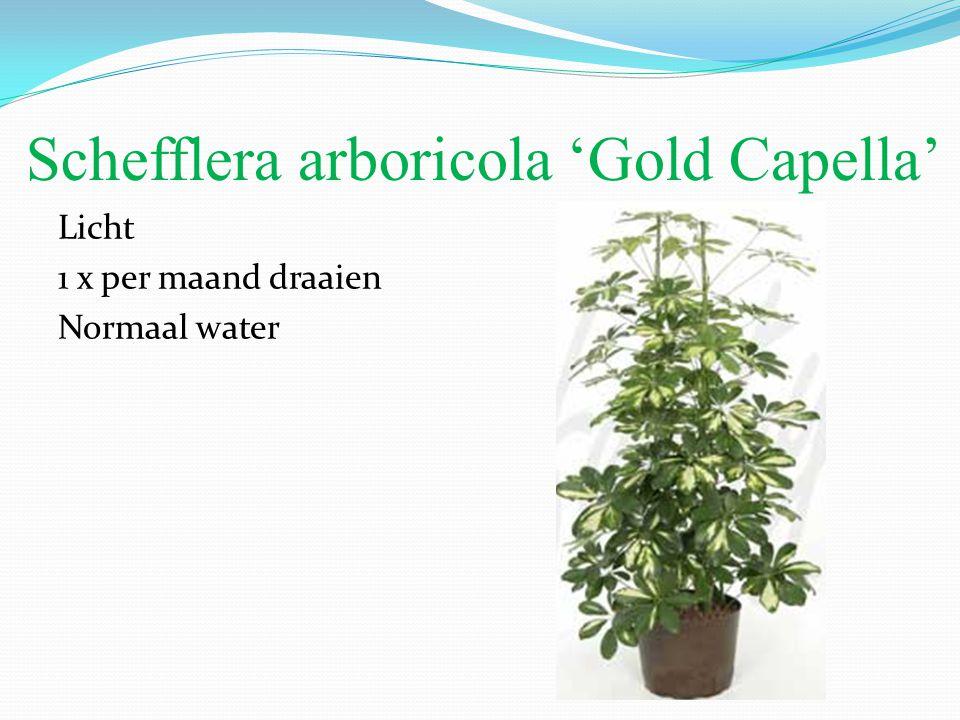 Schefflera arboricola 'Gold Capella' Licht 1 x per maand draaien Normaal water