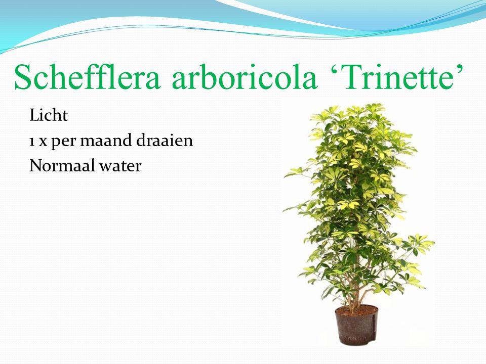 Schefflera arboricola 'Trinette' Licht 1 x per maand draaien Normaal water