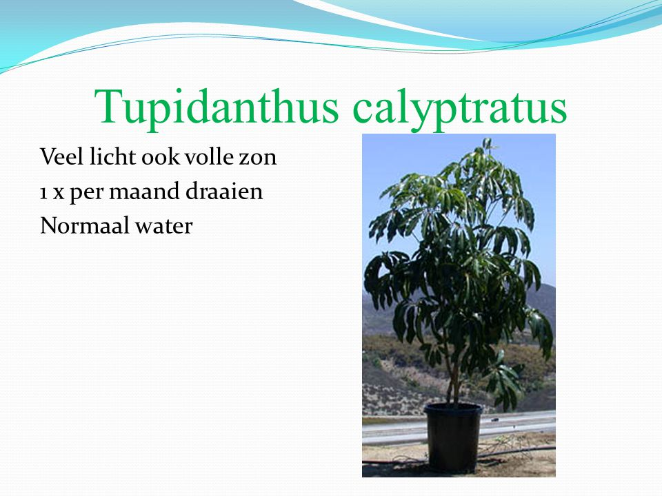Tupidanthus calyptratus Veel licht ook volle zon 1 x per maand draaien Normaal water