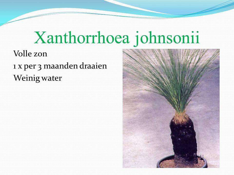 Xanthorrhoea johnsonii Volle zon 1 x per 3 maanden draaien Weinig water