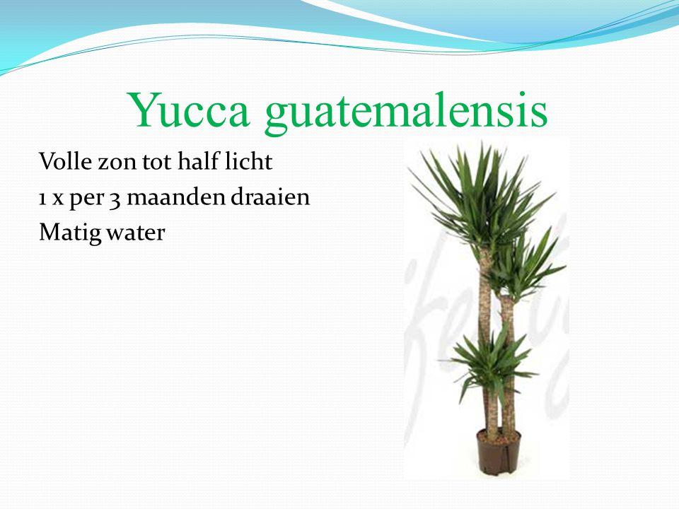 Yucca guatemalensis Volle zon tot half licht 1 x per 3 maanden draaien Matig water
