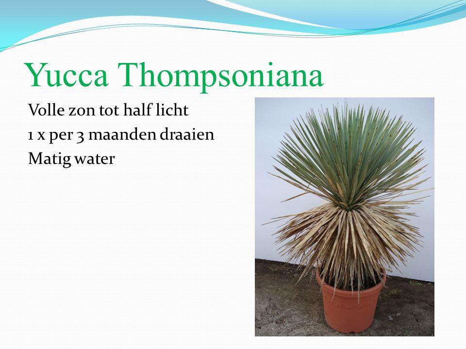 Yucca Thompsoniana Volle zon tot half licht 1 x per 3 maanden draaien Matig water