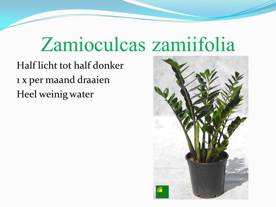 Zamioculcas zamiifolia Half licht tot half donker 1 x per maand draaien Heel weinig water
