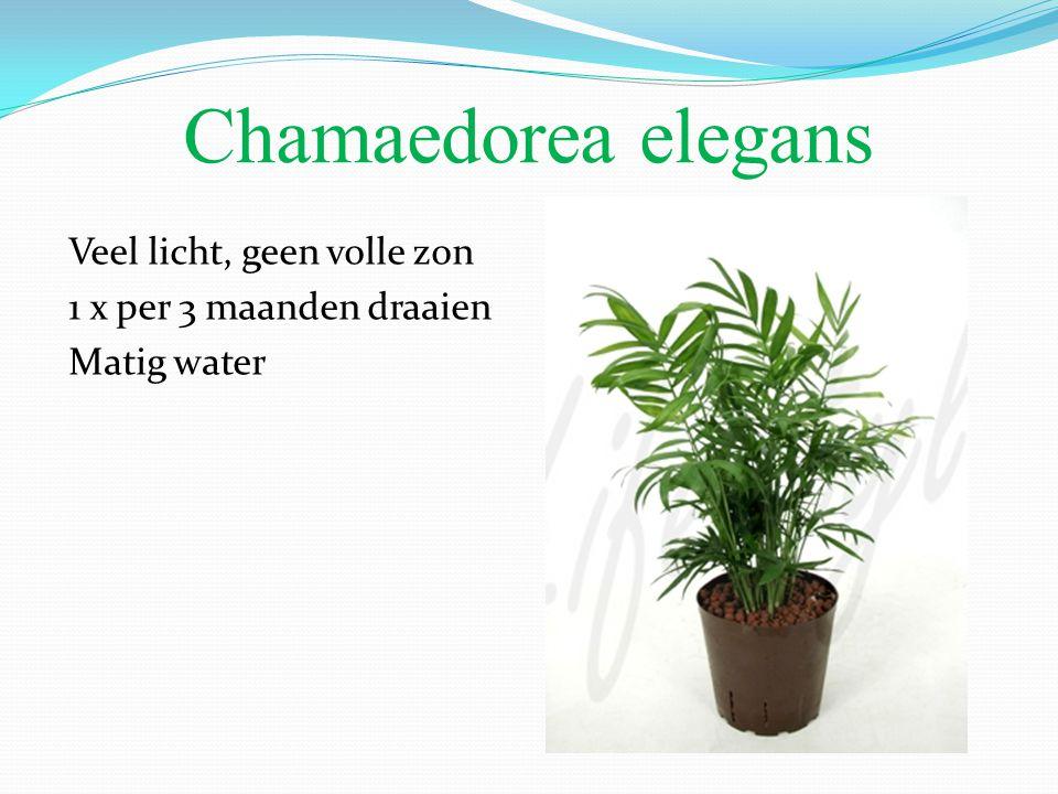 Chamaedorea elegans Veel licht, geen volle zon 1 x per 3 maanden draaien Matig water