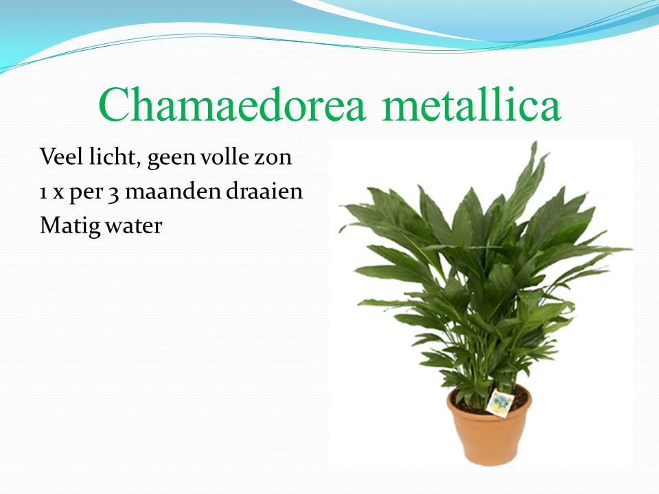 Chamaedorea metallica Veel licht, geen volle zon 1 x per 3 maanden draaien Matig water