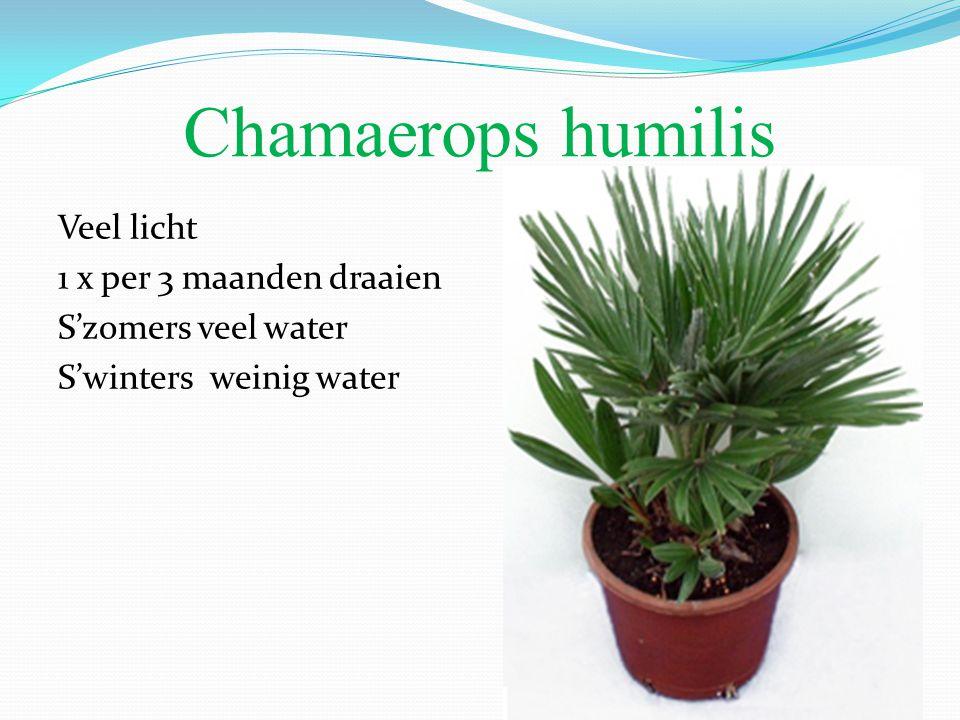 Chamaerops humilis Veel licht 1 x per 3 maanden draaien S'zomers veel water S'winters weinig water