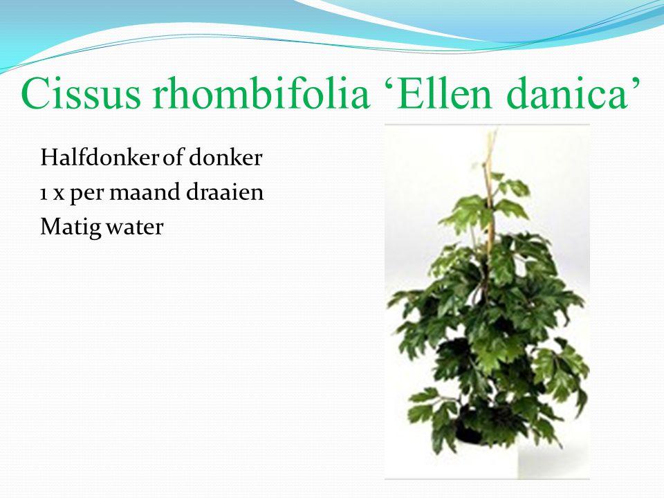 Cissus rhombifolia 'Ellen danica' Halfdonker of donker 1 x per maand draaien Matig water