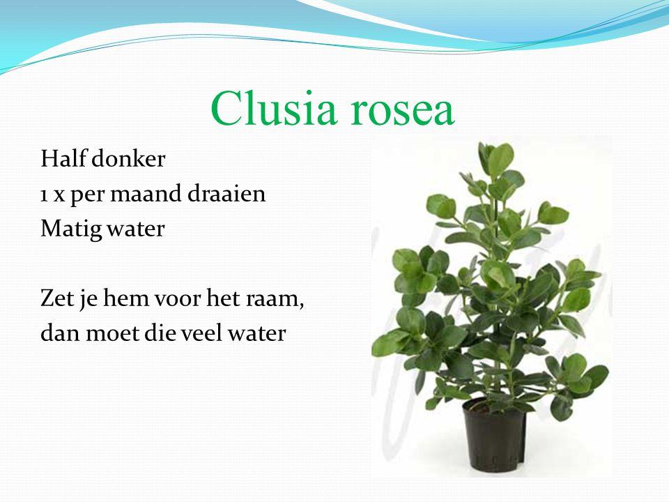 Clusia rosea Half donker 1 x per maand draaien Matig water Zet je hem voor het raam, dan moet die veel water