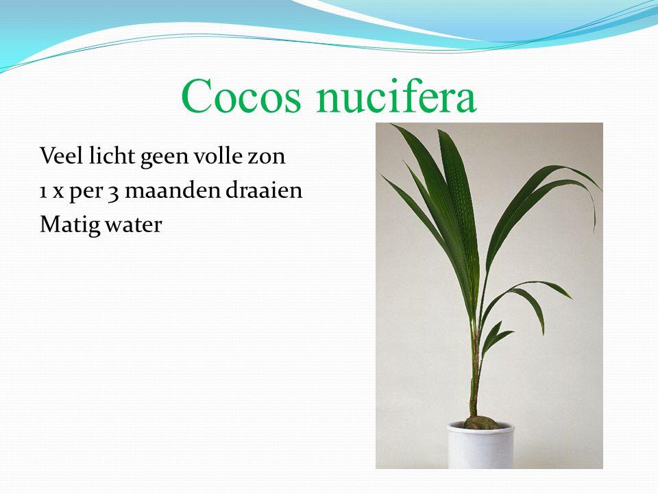 Cocos nucifera Veel licht geen volle zon 1 x per 3 maanden draaien Matig water