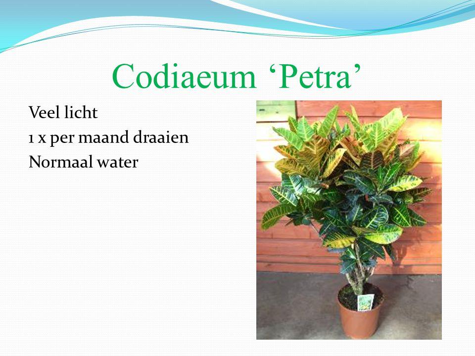 Codiaeum 'Petra' Veel licht 1 x per maand draaien Normaal water