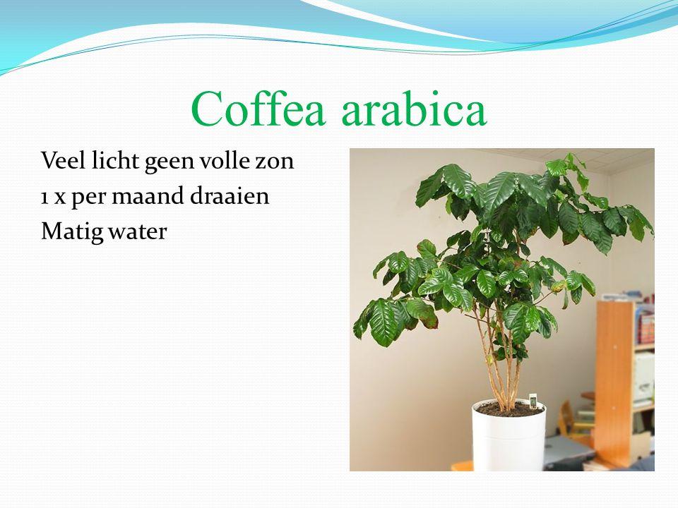 Coffea arabica Veel licht geen volle zon 1 x per maand draaien Matig water
