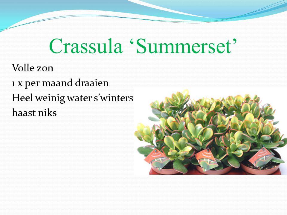 Crassula 'Summerset' Volle zon 1 x per maand draaien Heel weinig water s'winters haast niks