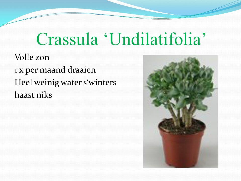 Crassula 'Undilatifolia' Volle zon 1 x per maand draaien Heel weinig water s'winters haast niks