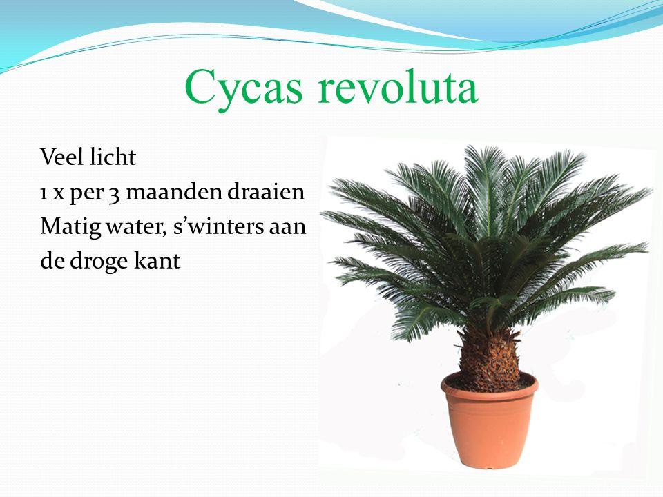 Cycas revoluta Veel licht 1 x per 3 maanden draaien Matig water, s'winters aan de droge kant