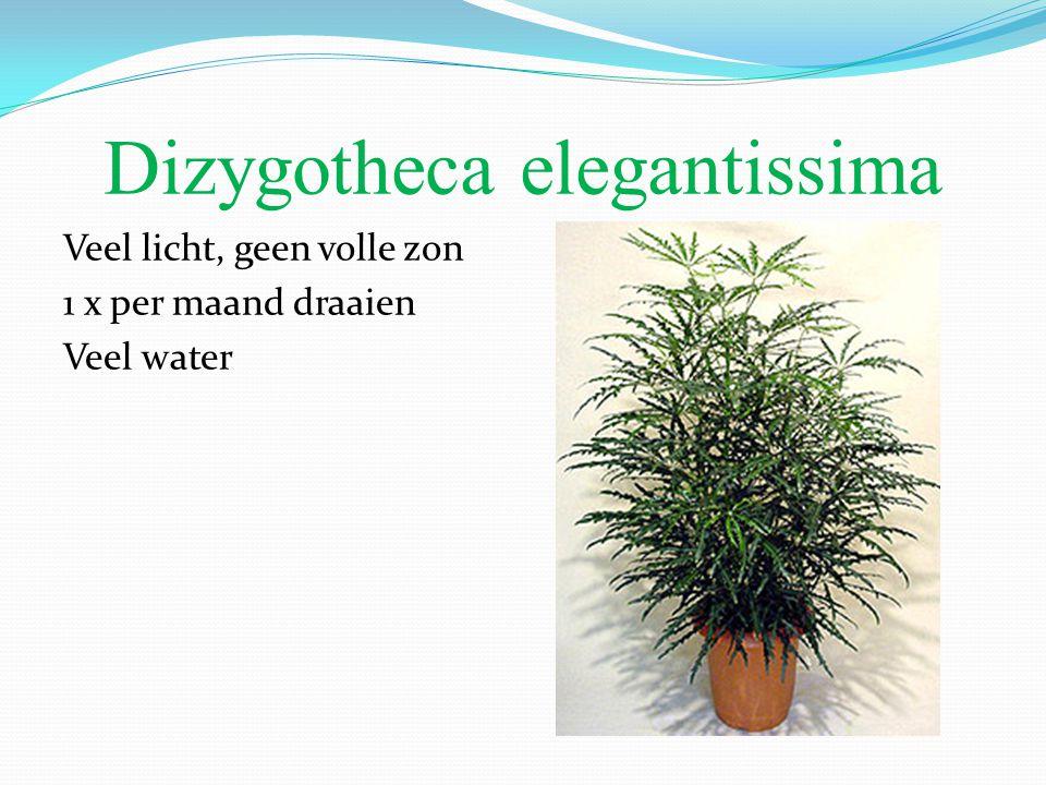 Dizygotheca elegantissima Veel licht, geen volle zon 1 x per maand draaien Veel water