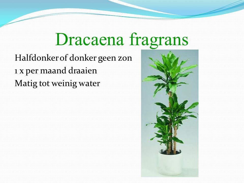 Dracaena fragrans Halfdonker of donker geen zon 1 x per maand draaien Matig tot weinig water