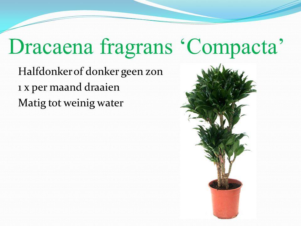 Dracaena fragrans 'Compacta' Halfdonker of donker geen zon 1 x per maand draaien Matig tot weinig water