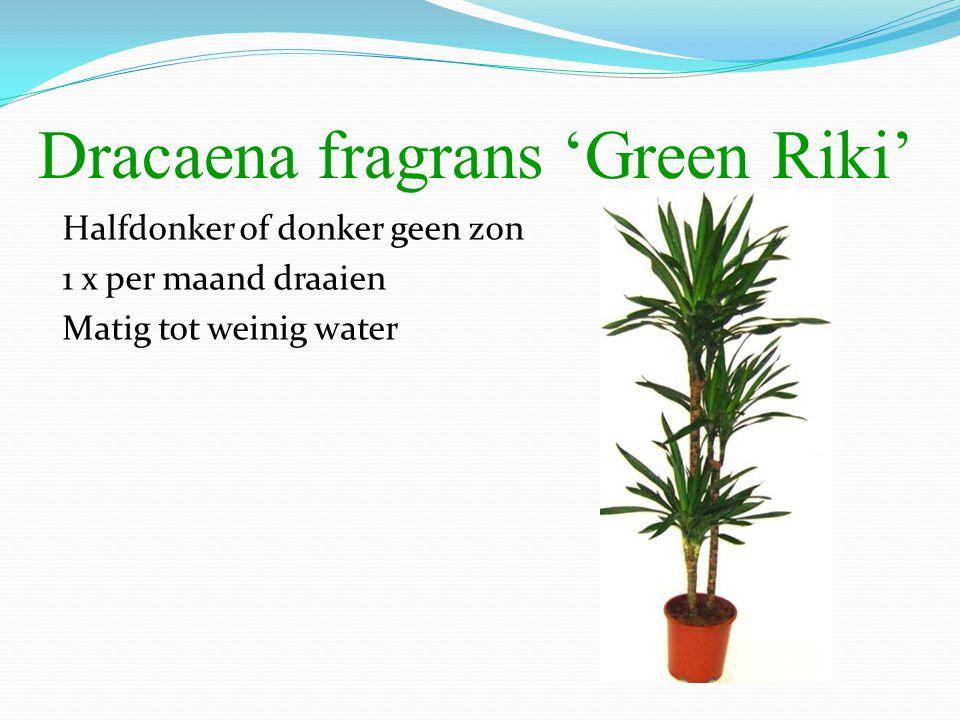 Dracaena fragrans 'Green Riki' Halfdonker of donker geen zon 1 x per maand draaien Matig tot weinig water