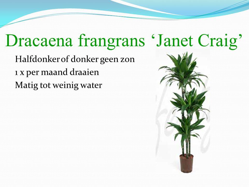 Dracaena frangrans 'Janet Craig' Halfdonker of donker geen zon 1 x per maand draaien Matig tot weinig water