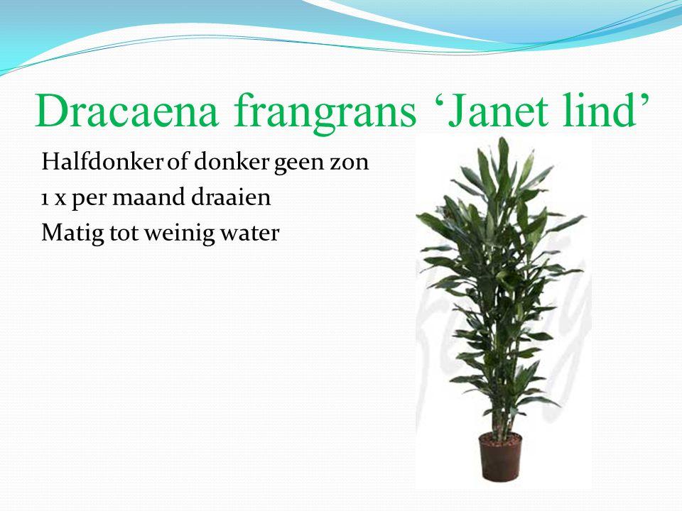 Dracaena frangrans 'Janet lind' Halfdonker of donker geen zon 1 x per maand draaien Matig tot weinig water