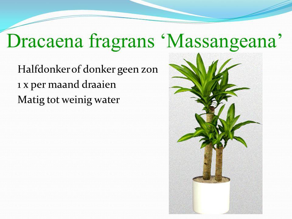 Dracaena fragrans 'Massangeana' Halfdonker of donker geen zon 1 x per maand draaien Matig tot weinig water