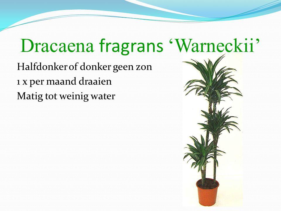 Dracaena fragrans 'Warneckii' Halfdonker of donker geen zon 1 x per maand draaien Matig tot weinig water