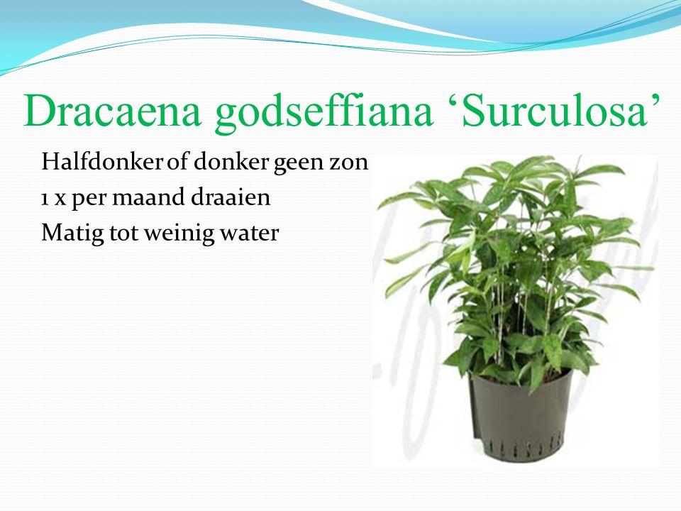 Dracaena godseffiana 'Surculosa' Halfdonker of donker geen zon 1 x per maand draaien Matig tot weinig water
