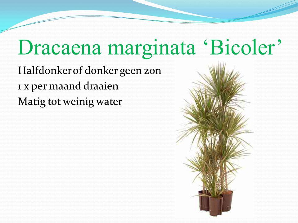 Dracaena marginata 'Bicoler' Halfdonker of donker geen zon 1 x per maand draaien Matig tot weinig water