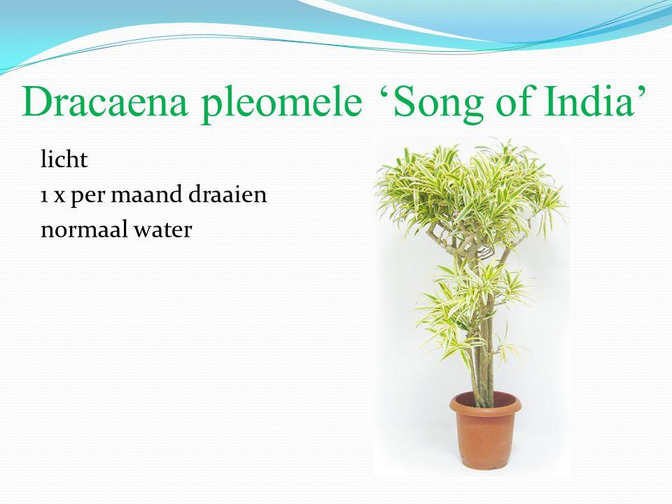 Dracaena pleomele 'Song of India' licht 1 x per maand draaien normaal water