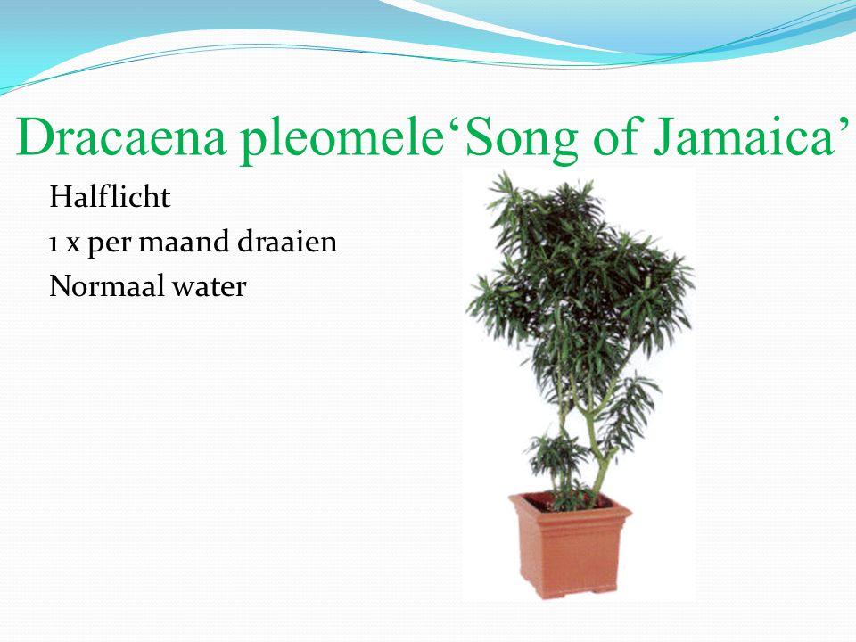Dracaena pleomele'Song of Jamaica' Halflicht 1 x per maand draaien Normaal water