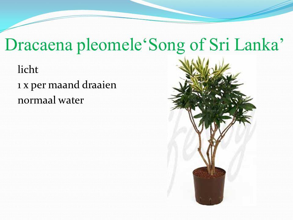 Dracaena pleomele'Song of Sri Lanka' licht 1 x per maand draaien normaal water