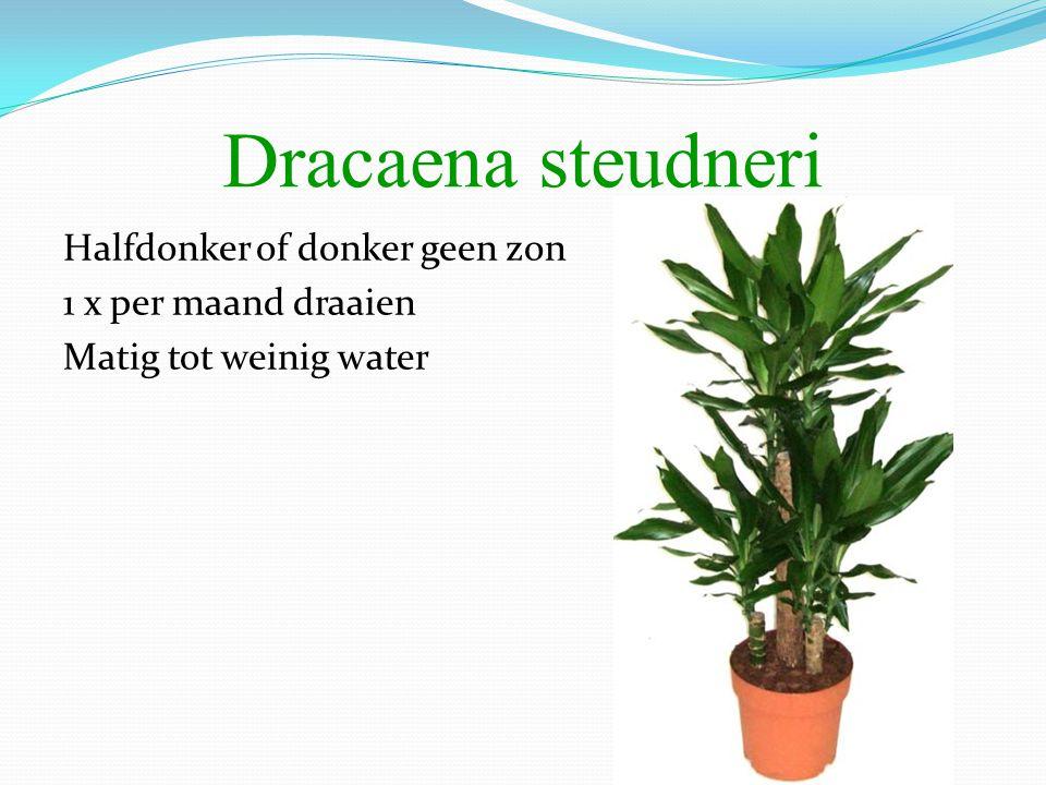 Halfdonker of donker geen zon 1 x per maand draaien Matig tot weinig water Dracaena steudneri