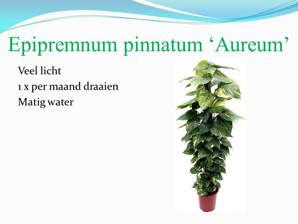 Epipremnum pinnatum 'Aureum' Veel licht 1 x per maand draaien Matig water
