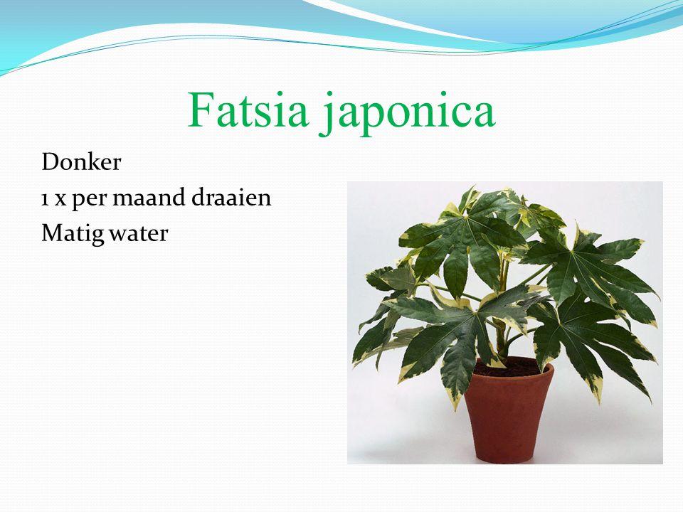 Fatsia japonica Donker 1 x per maand draaien Matig water