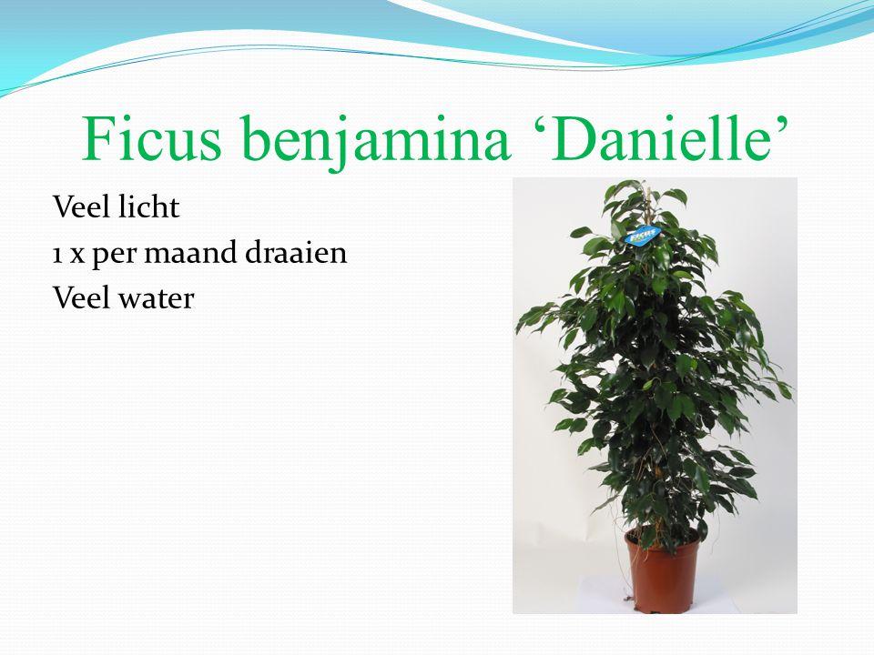 Ficus benjamina 'Danielle' Veel licht 1 x per maand draaien Veel water