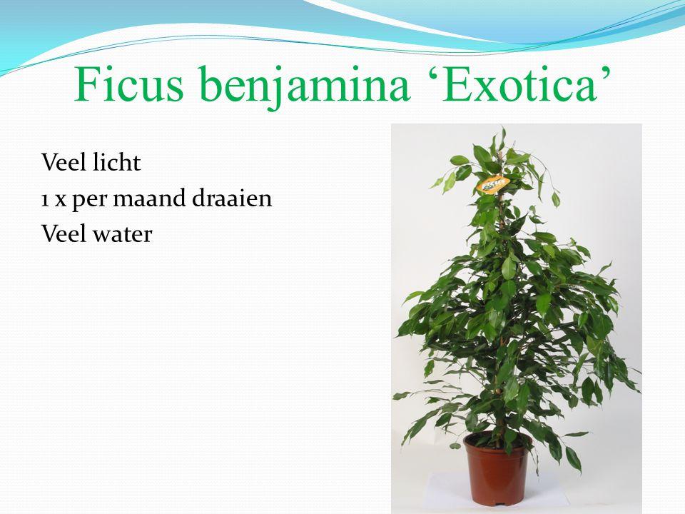 Ficus benjamina 'Exotica' Veel licht 1 x per maand draaien Veel water