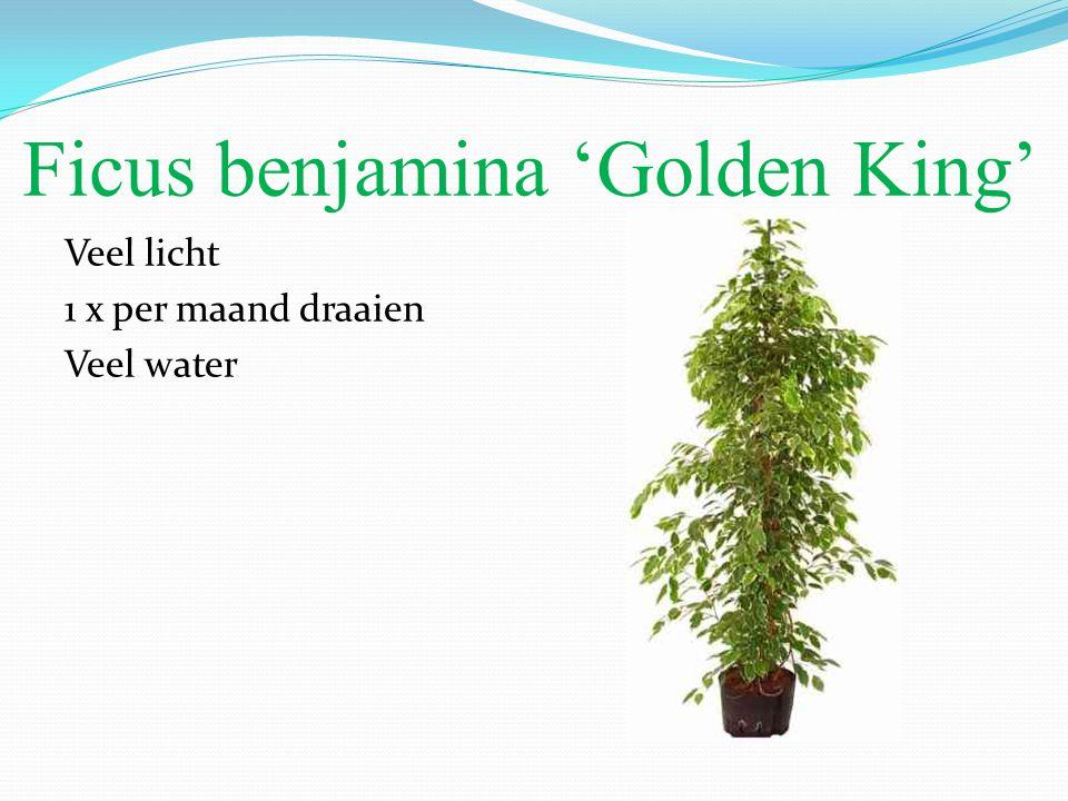 Ficus benjamina 'Golden King' Veel licht 1 x per maand draaien Veel water