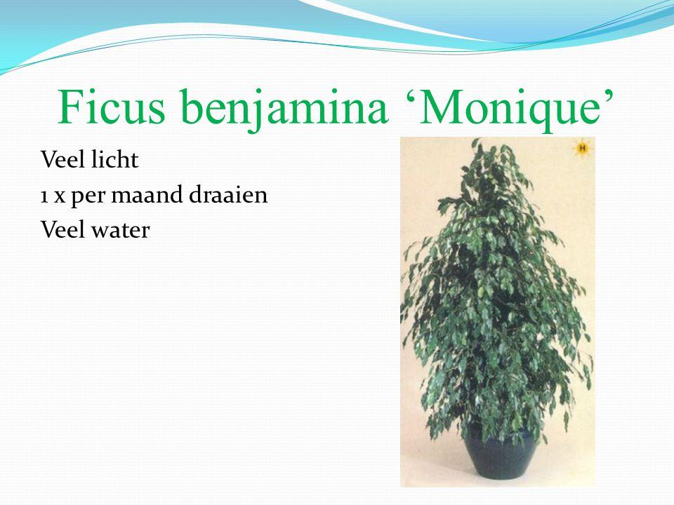 Ficus benjamina 'Monique' Veel licht 1 x per maand draaien Veel water