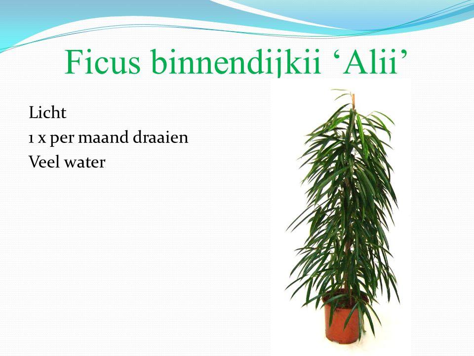 Ficus binnendijkii 'Alii' Licht 1 x per maand draaien Veel water