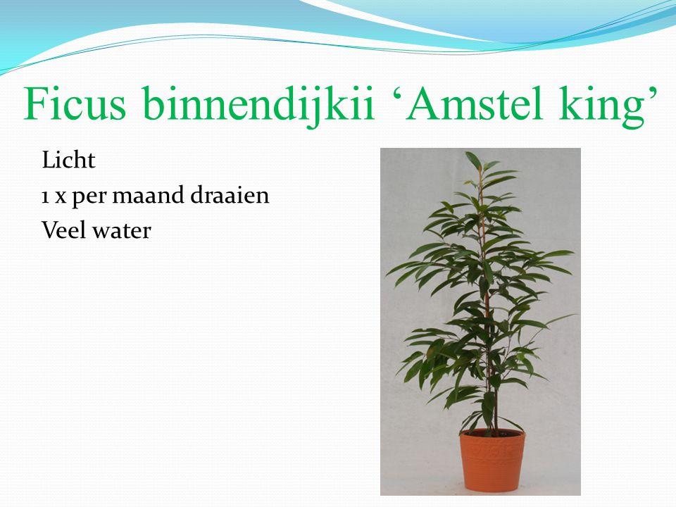Ficus binnendijkii 'Amstel king' Licht 1 x per maand draaien Veel water