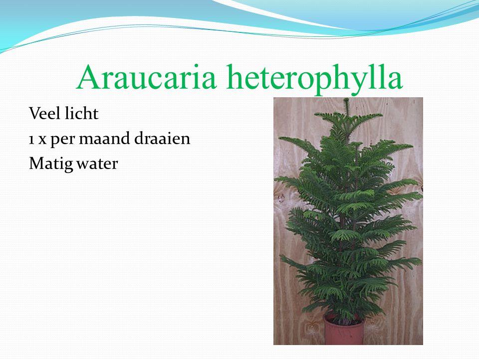 Araucaria heterophylla Veel licht 1 x per maand draaien Matig water