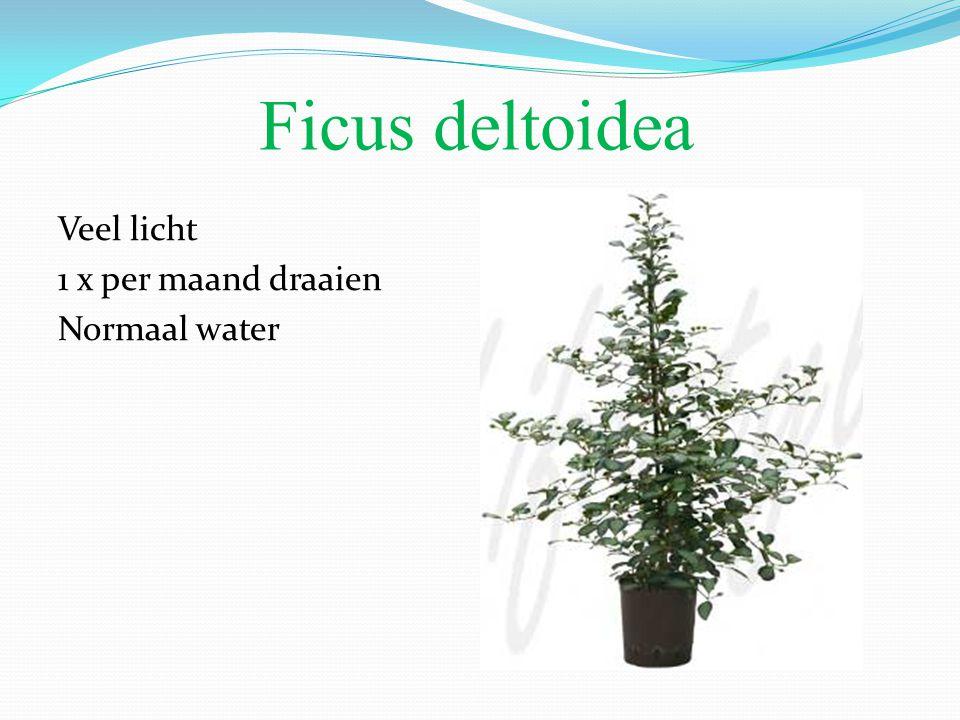 Ficus deltoidea Veel licht 1 x per maand draaien Normaal water