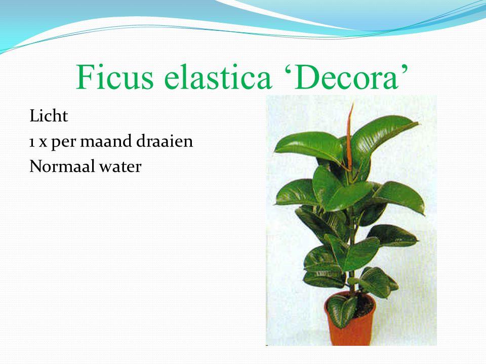 Ficus elastica 'Decora' Licht 1 x per maand draaien Normaal water