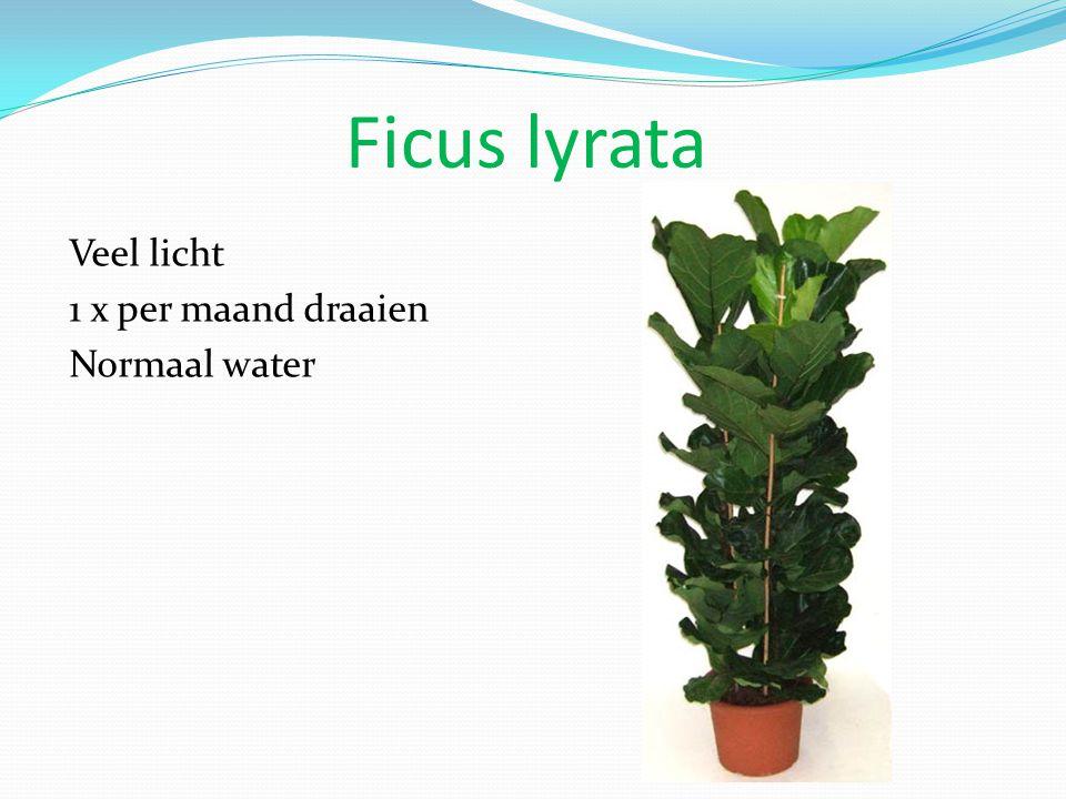 Ficus lyrata Veel licht 1 x per maand draaien Normaal water