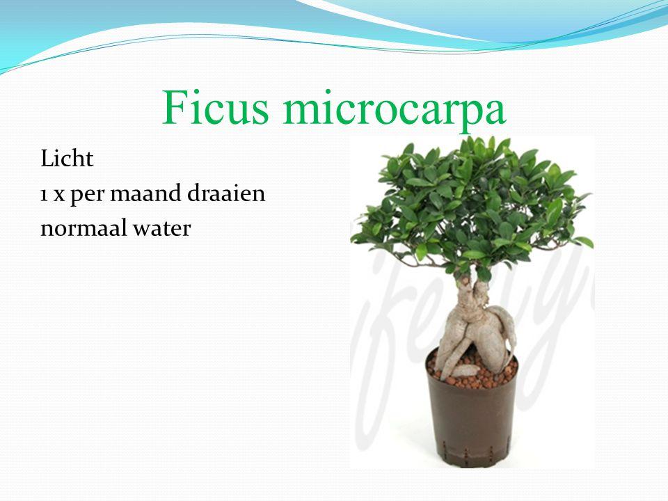 Ficus microcarpa Licht 1 x per maand draaien normaal water