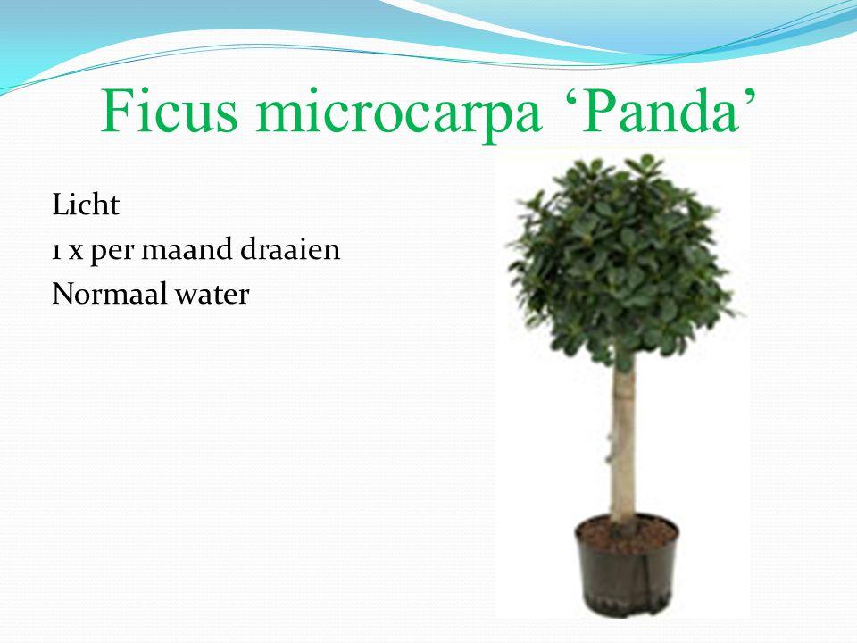 Ficus microcarpa 'Panda' Licht 1 x per maand draaien Normaal water