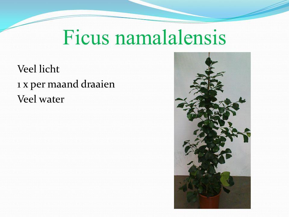 Ficus namalalensis Veel licht 1 x per maand draaien Veel water