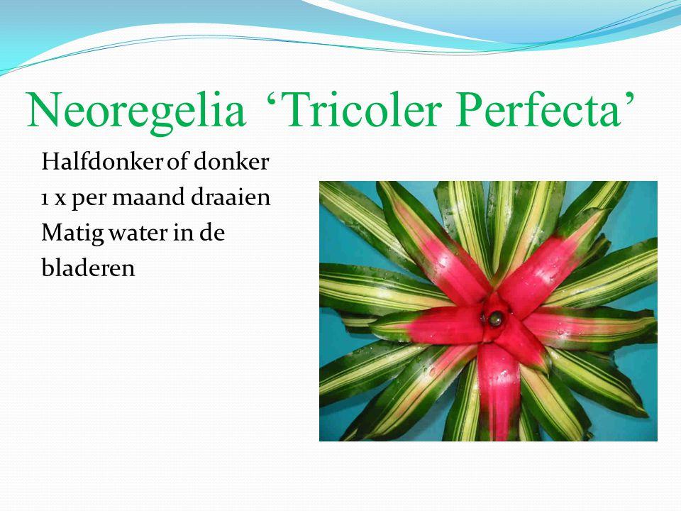 Neoregelia 'Tricoler Perfecta' Halfdonker of donker 1 x per maand draaien Matig water in de bladeren